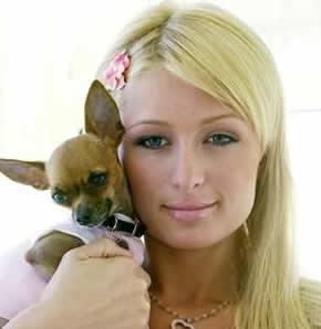 Paris Hilton's chihuahua