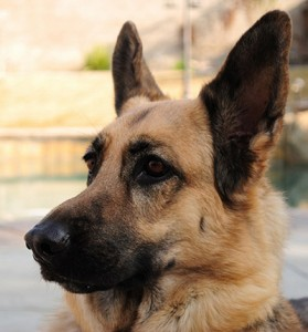German Shepard runs for help in workshop fire