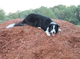 dog on pile of mulch